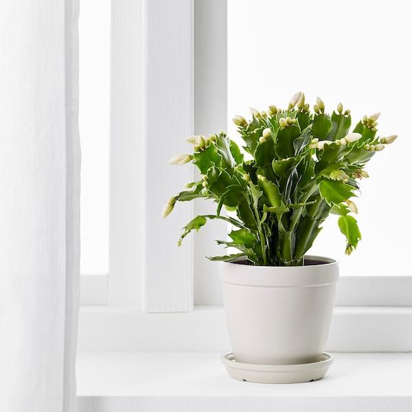 SCHLUMBERGERA Potted plant, Christmas cactus, 12 cm