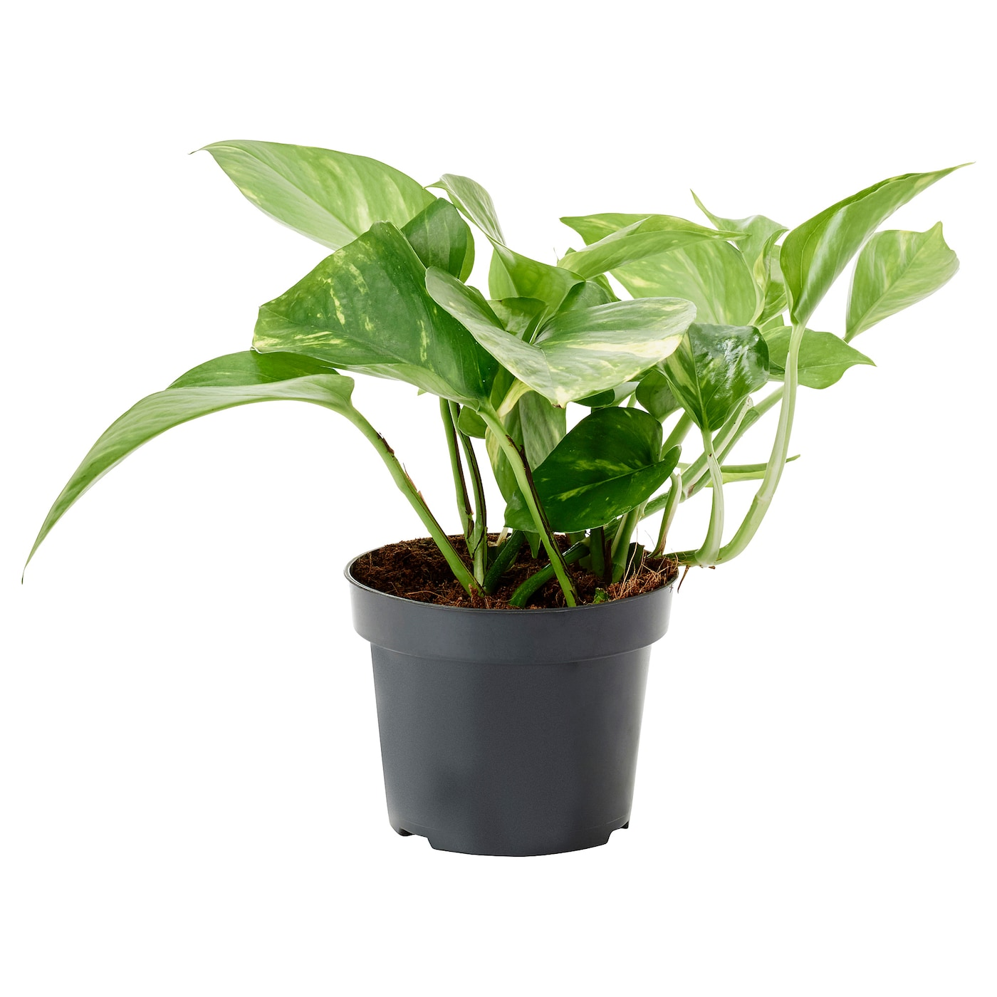 IKEA SCINDAPSUS potted plant