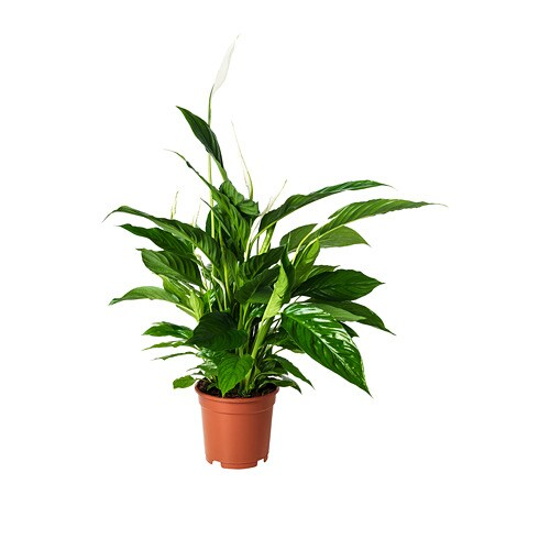 Spathiphyllum Potted Plant Peace Lily 17 Cm Ikea