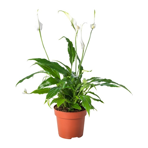 Peace Lily In Baby S Room