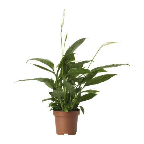 Spathiphyllum potted plant ikea for Ikea plantes