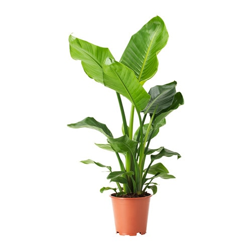 Strelitzia Potted Plant Bird Of Paradise 19 Cm Ikea
