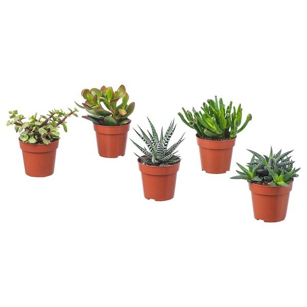 SUCCULENT Potted plant, assorted, 9 cm