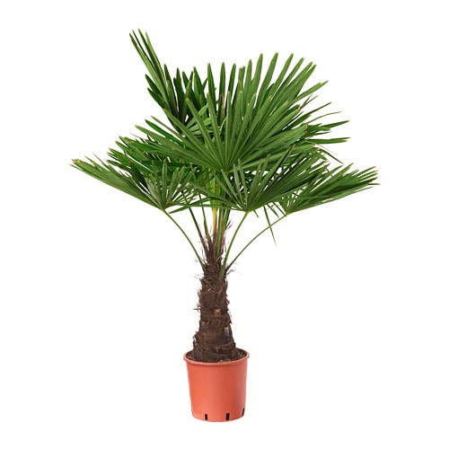 Trachycarpus Fortunei Potted Plant Windmill Palm 27 Cm Ikea
