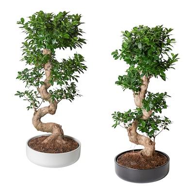 FICUS MICROCARPA GINSENG Lončanica+tegla, bonsai/razne boje, 40 cm