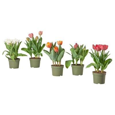 LÖKARYD Lončanica, razne vrste/tulipan, 12 cm