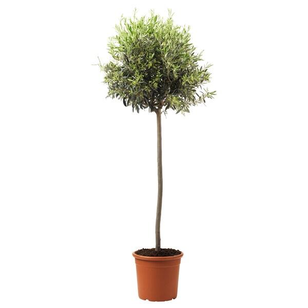 OLEA EUROPAEA Lončanica, maslina/stabljika, 33 cm