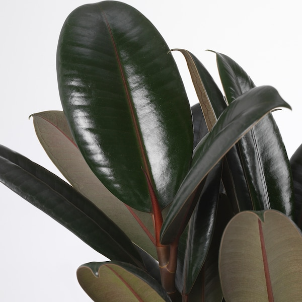 FICUS ELASTICA Növény, törzs, 19 cm