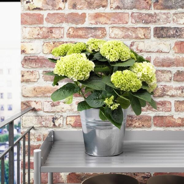 HYDRANGEA Növény, vegyes színek, 19 cm