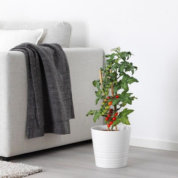 LYCOPERSICON ESCULENTUM TOMATO Cserepes növény, paradicsom, 15 cm