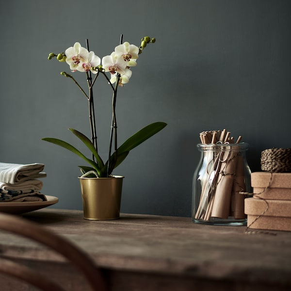 PHALAENOPSIS Növény, orchidea/több virágú 2hajtás, 9 cm