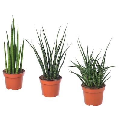 SANSEVIERIA Növény, vegyes keverék, 12 cm