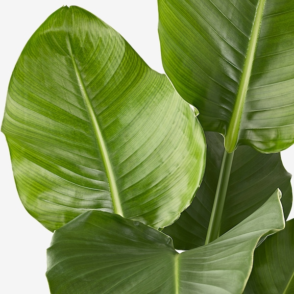 STRELITZIA Növény, strelitzia, 19 cm