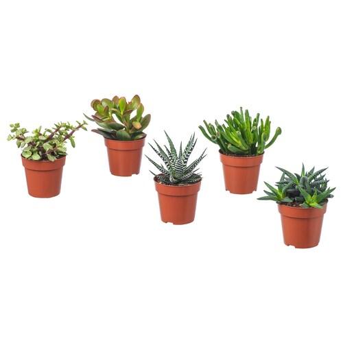 IKEA SUCCULENT Növény