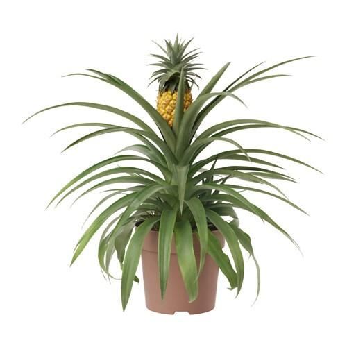 ananas potted plant 15 cm ikea. Black Bedroom Furniture Sets. Home Design Ideas