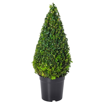 BUXUS SEMPERVIRENS Potted plant, Box/pyramid, 21 cm