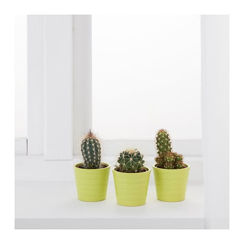 cactaceae potted plant with pot cactus assorted 6 cm ikea. Black Bedroom Furniture Sets. Home Design Ideas