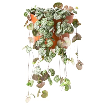 CEROPEGIA WOODII Potted plant, Chain of hearts, 12 cm