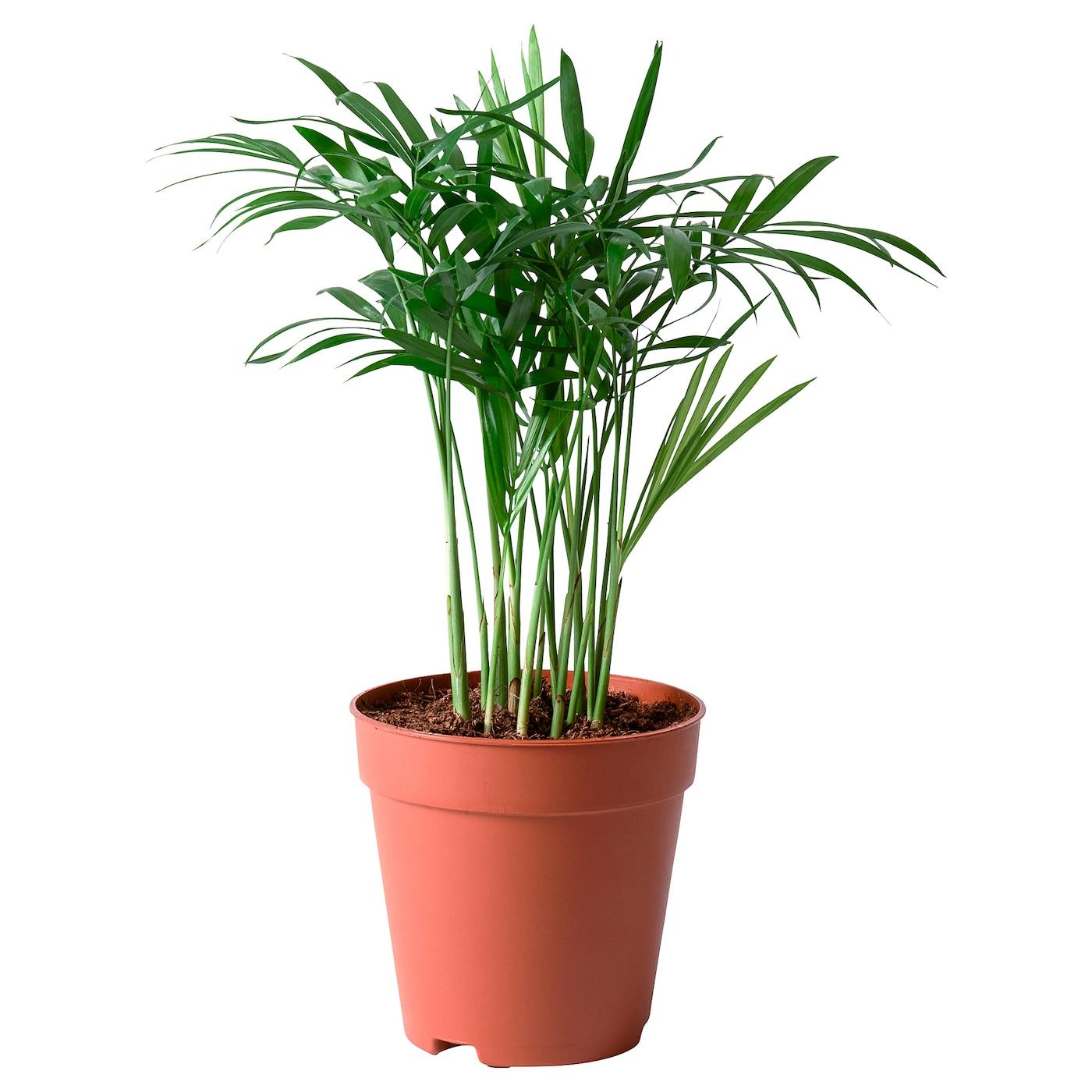 Chamaedorea Elegans Potted Plant Parlour Palm Ikea