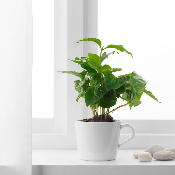 COFFEA ARABICA Potted plant with mug, Coffee plant, 9 cm