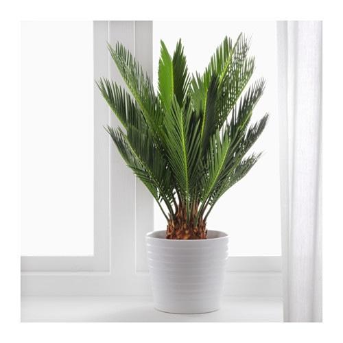 cycas revoluta potted plant sago palm 12 cm ikea. Black Bedroom Furniture Sets. Home Design Ideas