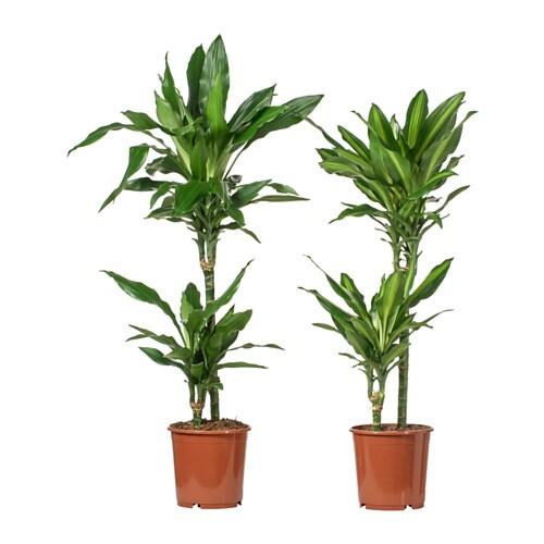 Dracaena potted plant assorted 2 stem 19 cm ikea - Plantes pour salle de bain ...