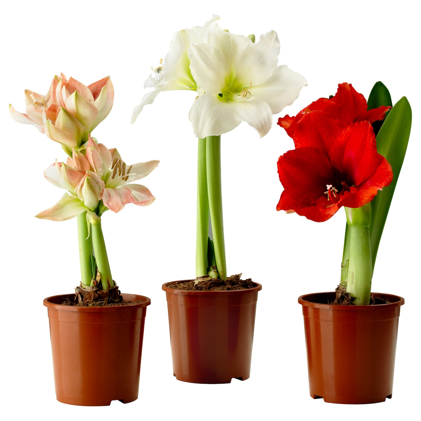 Hippeastrum potted plant amaryllis 2 buds assorted colours for Pot amaryllis