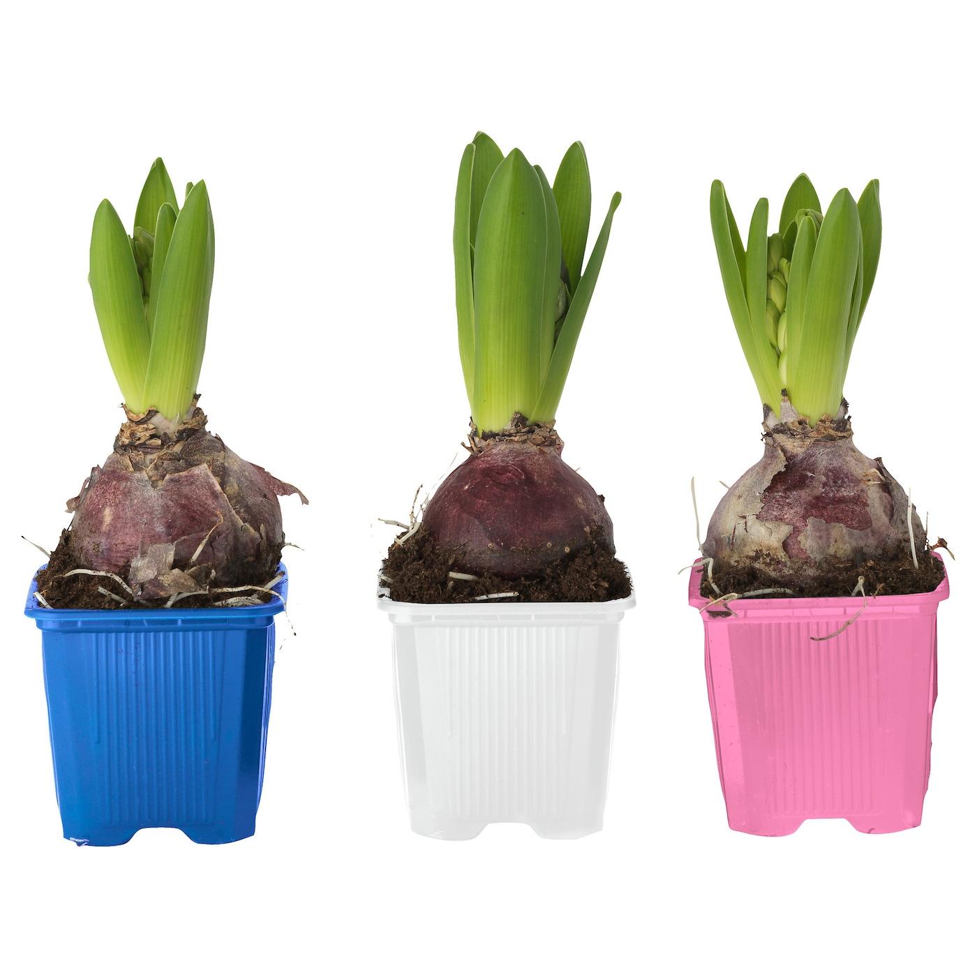 Hyacinthus potted plant 1 bulb hyacinth assorted colours 7 cm ikea - Planting hyacinths pots ...