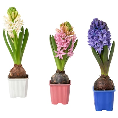 HYACINTHUS Potted plant, 1 bulb, Hyacinth assorted colours, 7 cm