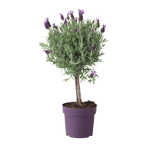 Plants pots stands ikea ireland dublin - Growing lavender pot ...