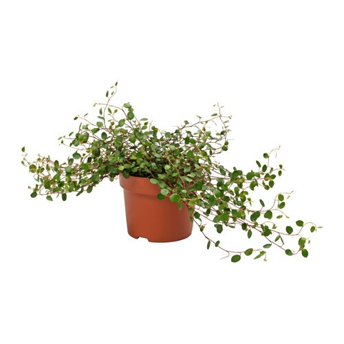 IKEA MUEHLENBECKIA potted plant