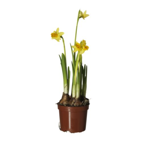 IKEA NARCISSUS TETE A TETE potted plant