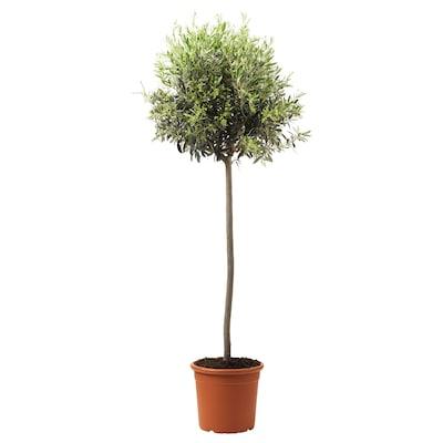 OLEA EUROPAEA Potted plant, Olive tree/stem, 33 cm