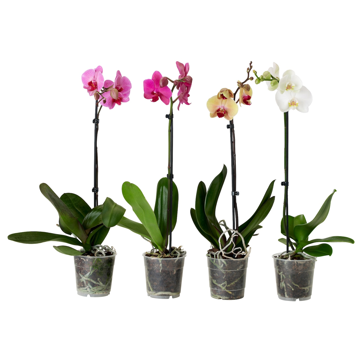Phalaenopsis potted plant orchid 1 stem assorted colours for Decoracion jardin ikea