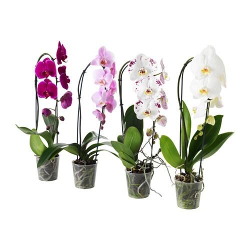 PHALAENOPSIS Potted plant Orchidcascade 1 stem 12 cm IKEA : phalaenopsis potted plant orchid cascade 1 stem0413385pe570663s4 from www.ikea.com size 500 x 500 jpeg 51kB