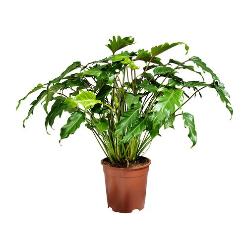 Philodendron xanadu potted plant 21 cm ikea for Ikea plantes