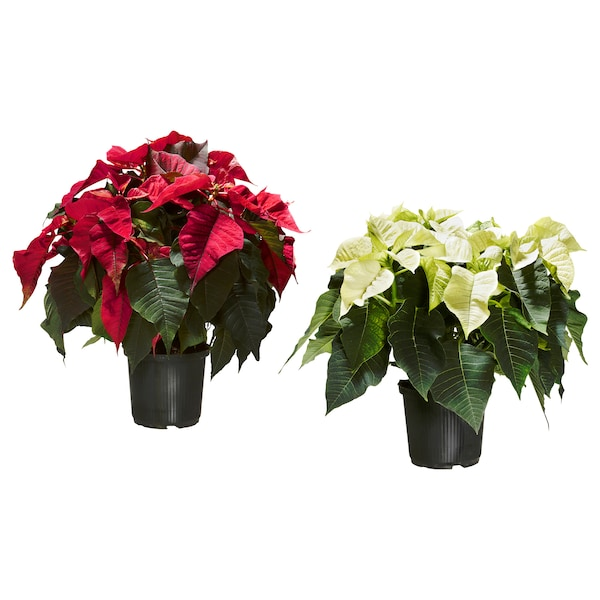 POINSETTIA Potted plant, Poinsettia, 14 cm