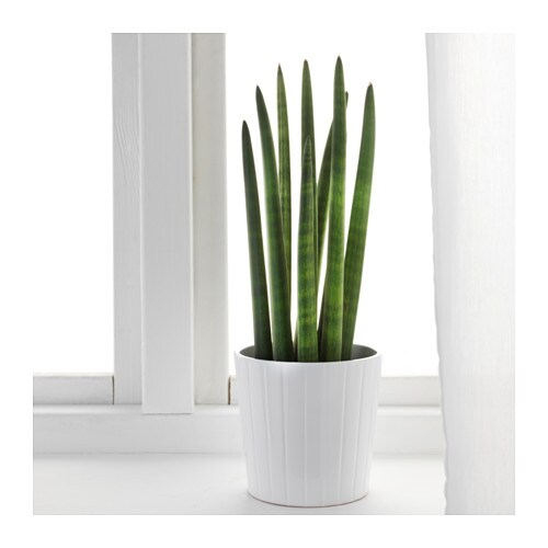 sansevieria cylindrica potted plant snake plant 12 cm ikea. Black Bedroom Furniture Sets. Home Design Ideas