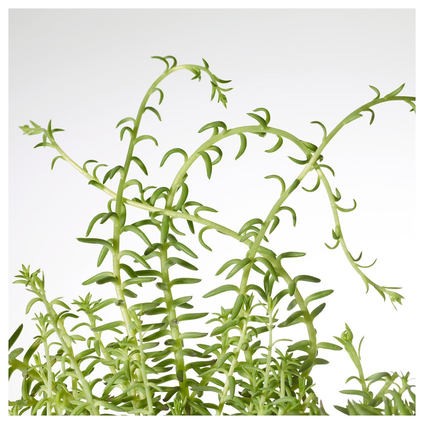 ikea sedum potted plant