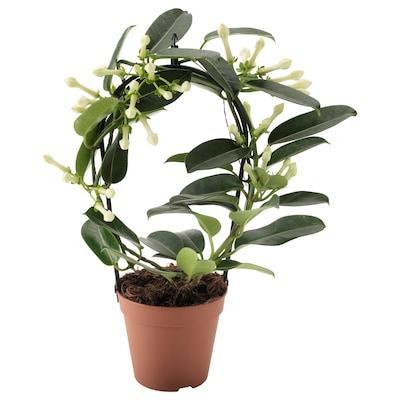 STEPHANOTIS Potted plant, Madagascar Jasmine, 12 cm