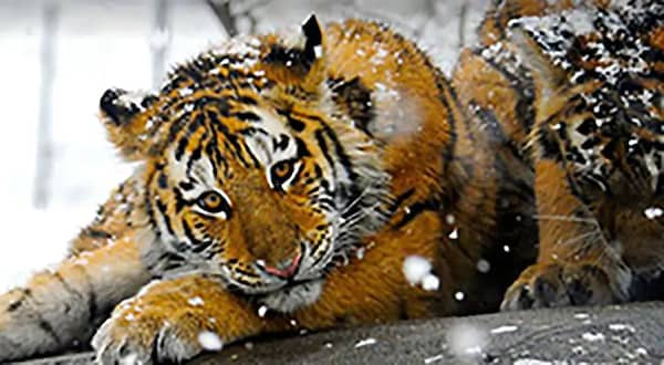 Tigar laying in the snow