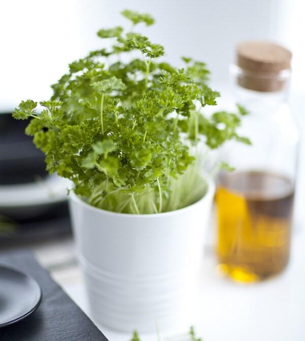 Začinsko bilje u bijeloj tegli pokraj vrča s uljem.