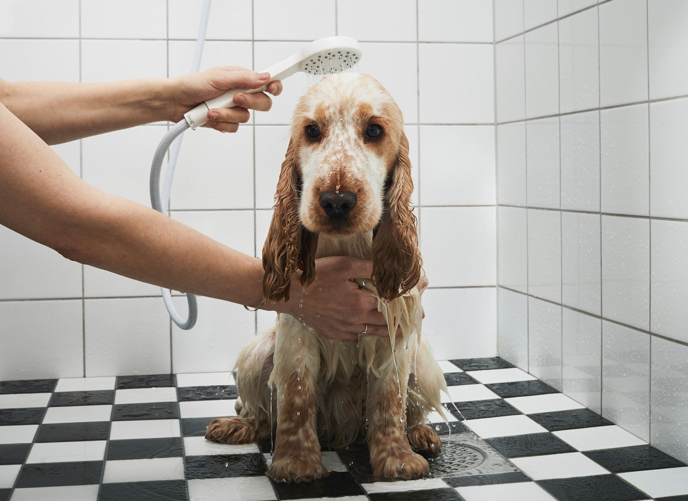 A bemused brown dog is being showered using a handheld shower head, in a black and white tiled bathroom.