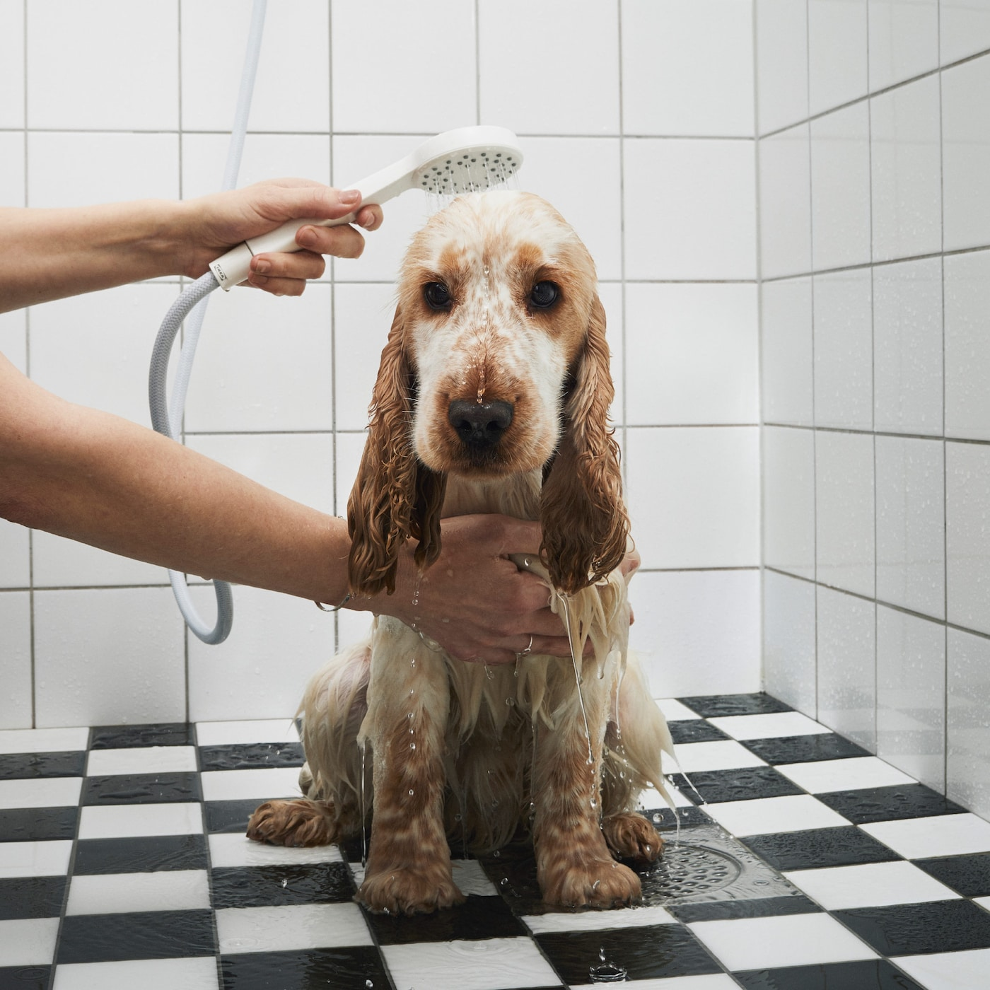 A bemused dog is being showered using a handheld shower head.
