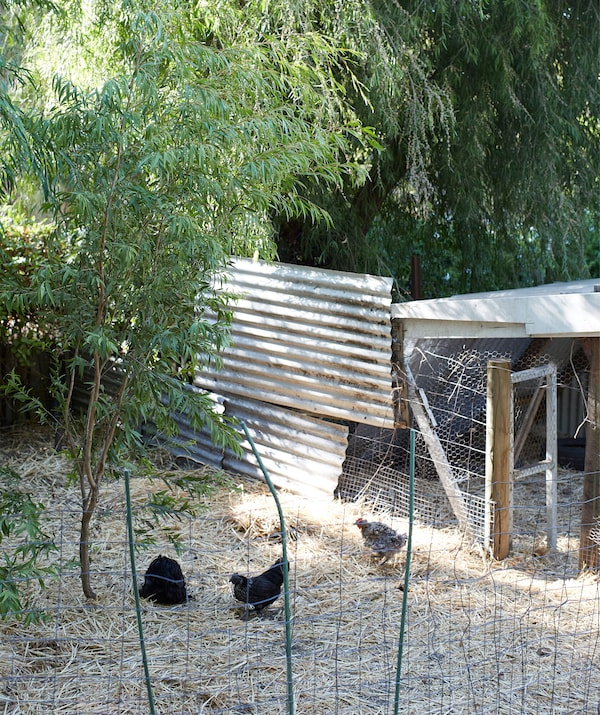A chicken coop made with wire fencing and corrugated iron set among the trees.