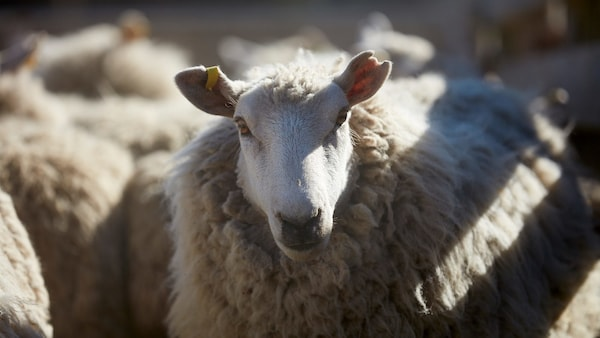 A close-up of a sheep, one among many, in the sunshine.