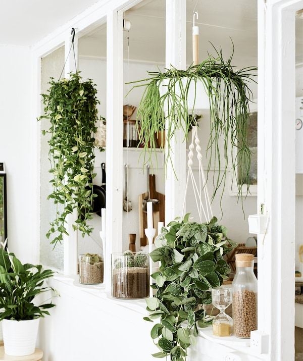 A combination of hanging and potted plants in an empty window frame between two white rooms.
