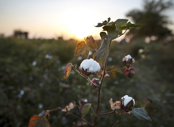 A cotton plant in a field.
