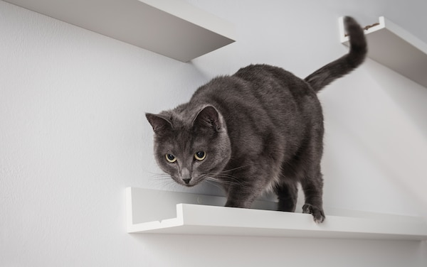 A dark grey cat walks along a MOSSLANDA picture ledge mounted on a white living room wall.