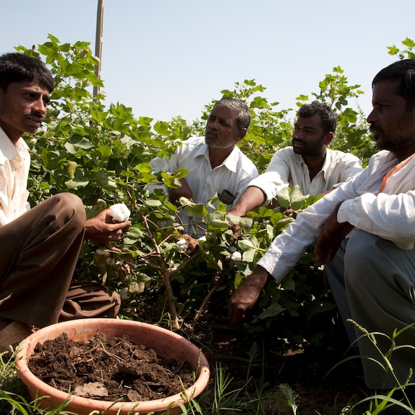 A group of cotton farmers are sitting beside a cotton field talking and examining cotton fibres.